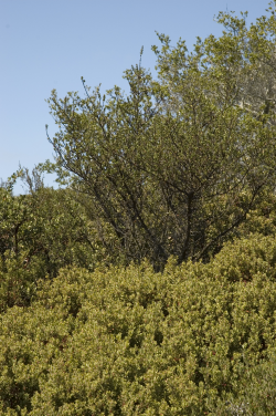 Photo taken at Fort Ord National Monument with sandmat manzanita (Arctostaphylos pumila) © 2007 Dylan Neubauer.